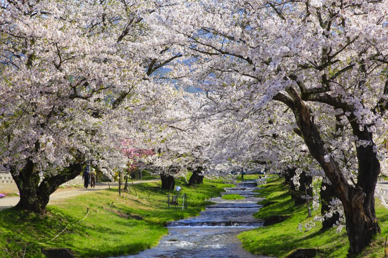 Kanonji cherry blossom and ranch cherry blossom walk